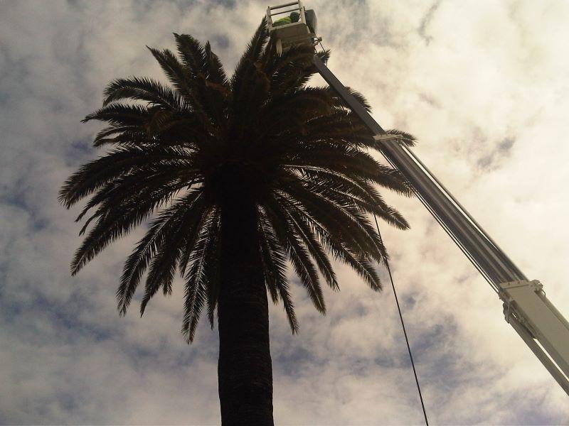 palmera, poda y mantenimiento en Reus