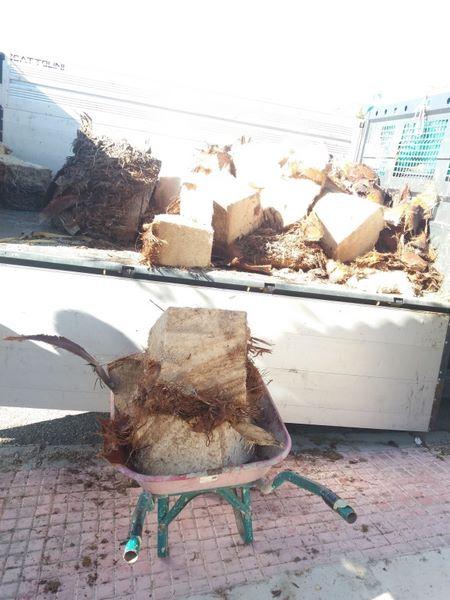 Tala corte de palmera afectada Picudo en Tarragona